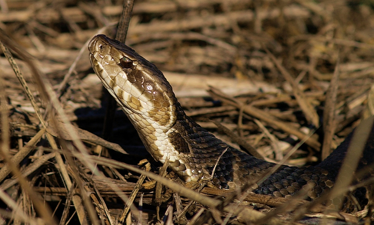 Cottonmouth aka Water Moccasin
