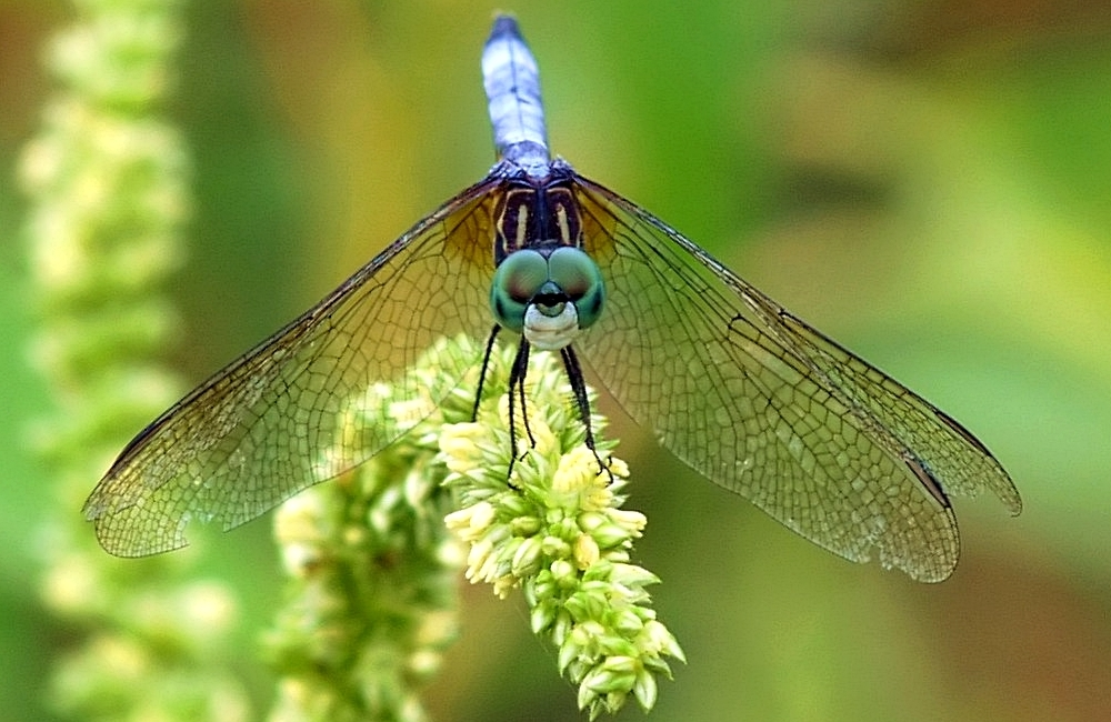 DragonFly (11)