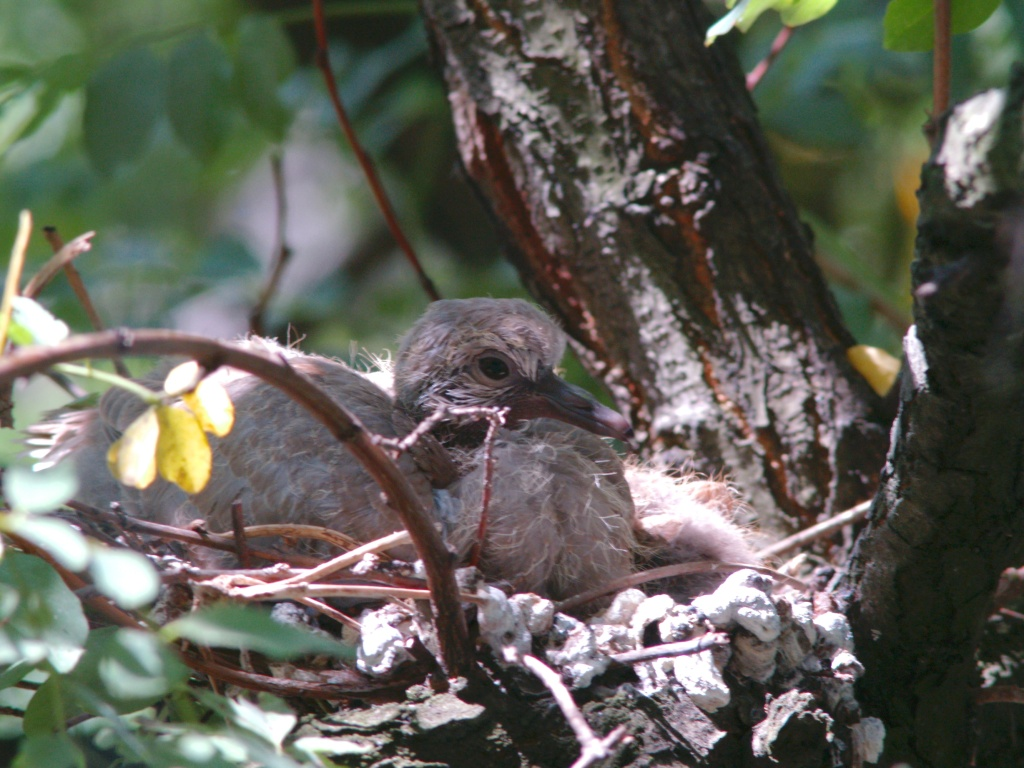 young turtle-dove