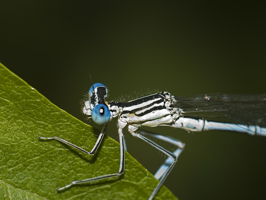 Hold on, borther! - Damselfly