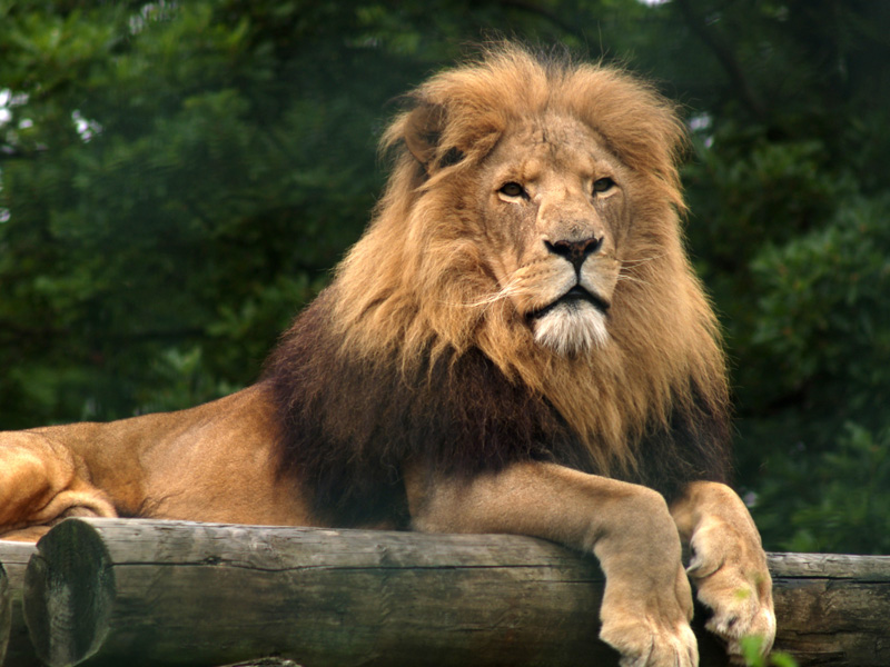 The Majestic Lion