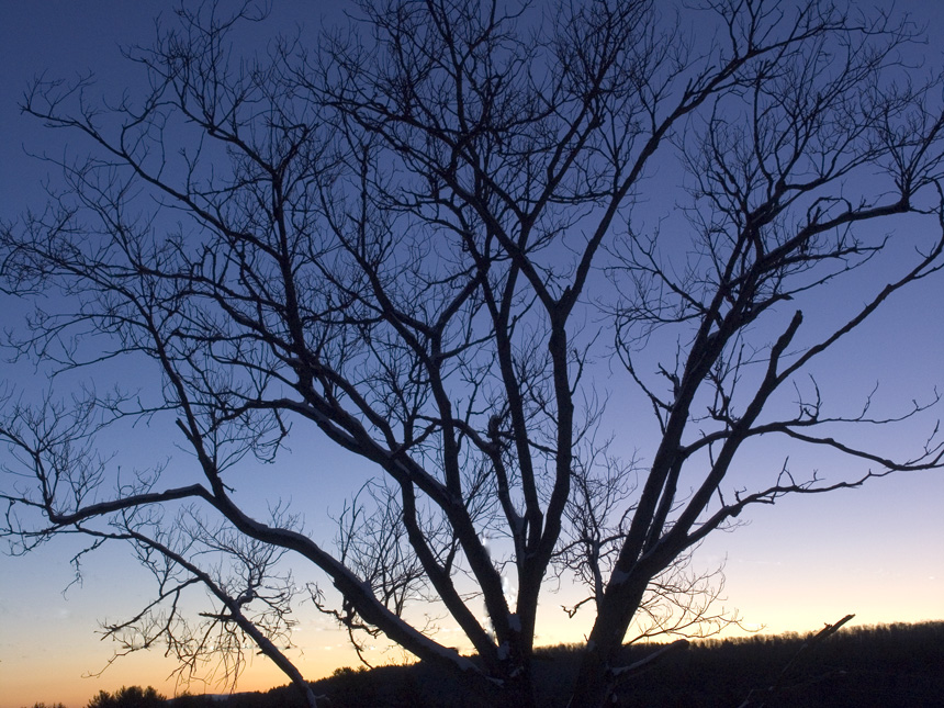 Butternut tree in December Dawn