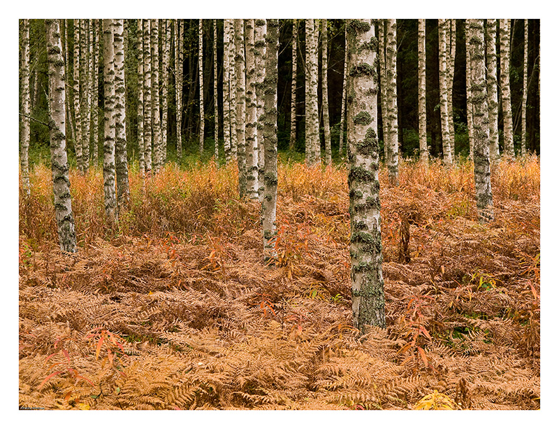 Young birches in autumn forest