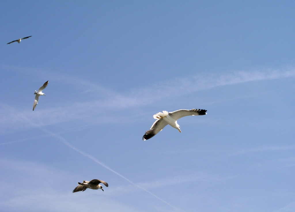 seagull's