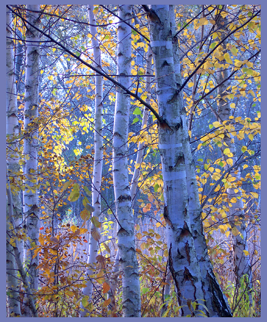 Birches in the evening