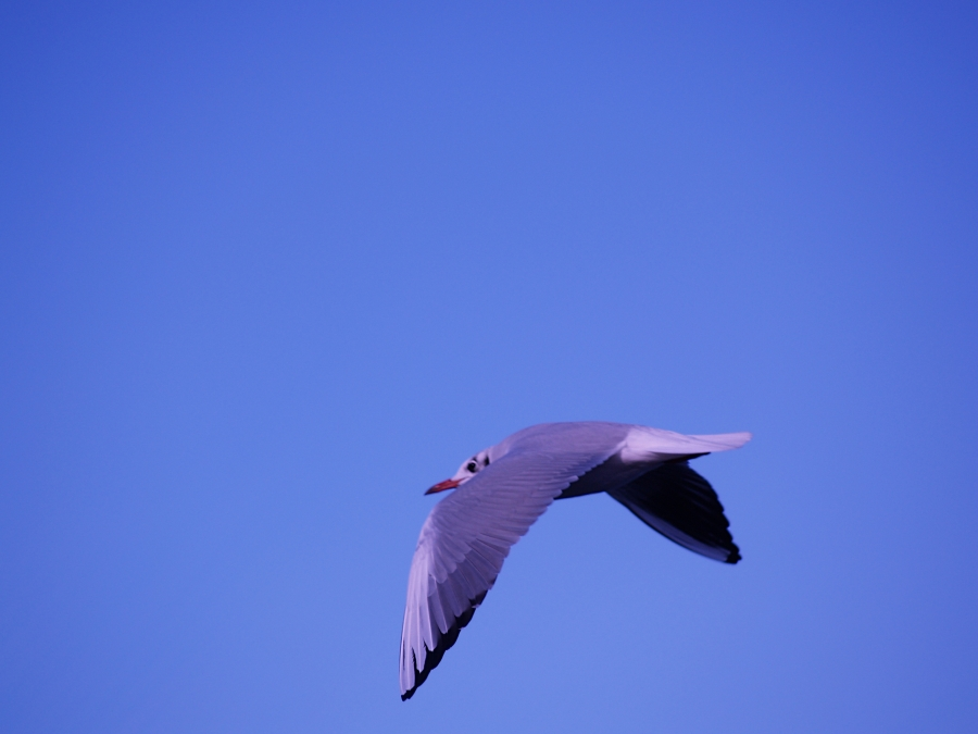 gull in a blue sky
