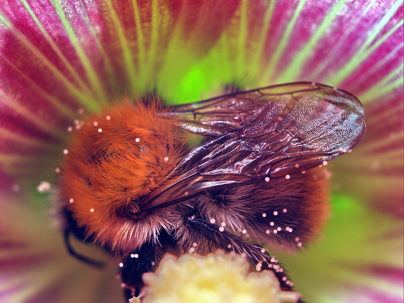 A very busy Bumblebee