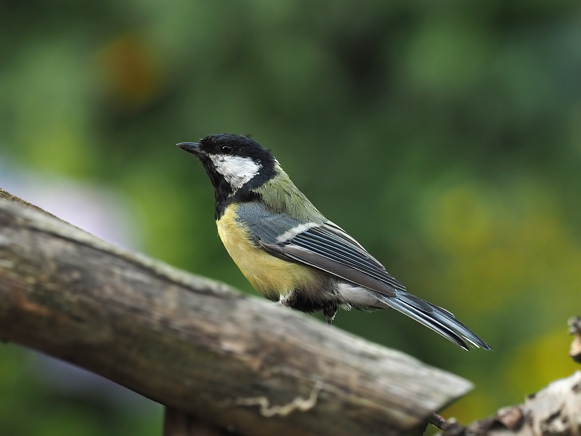 Great Tit (7)