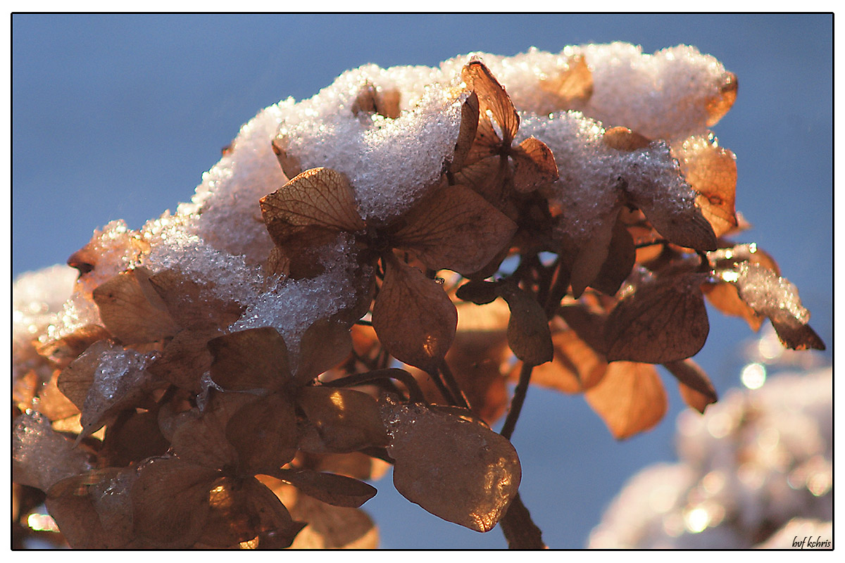Snow covered hortensia