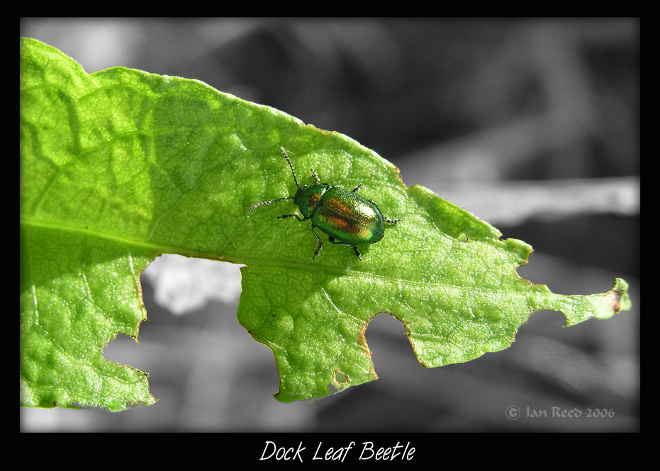 Dock Leaf Beetle
