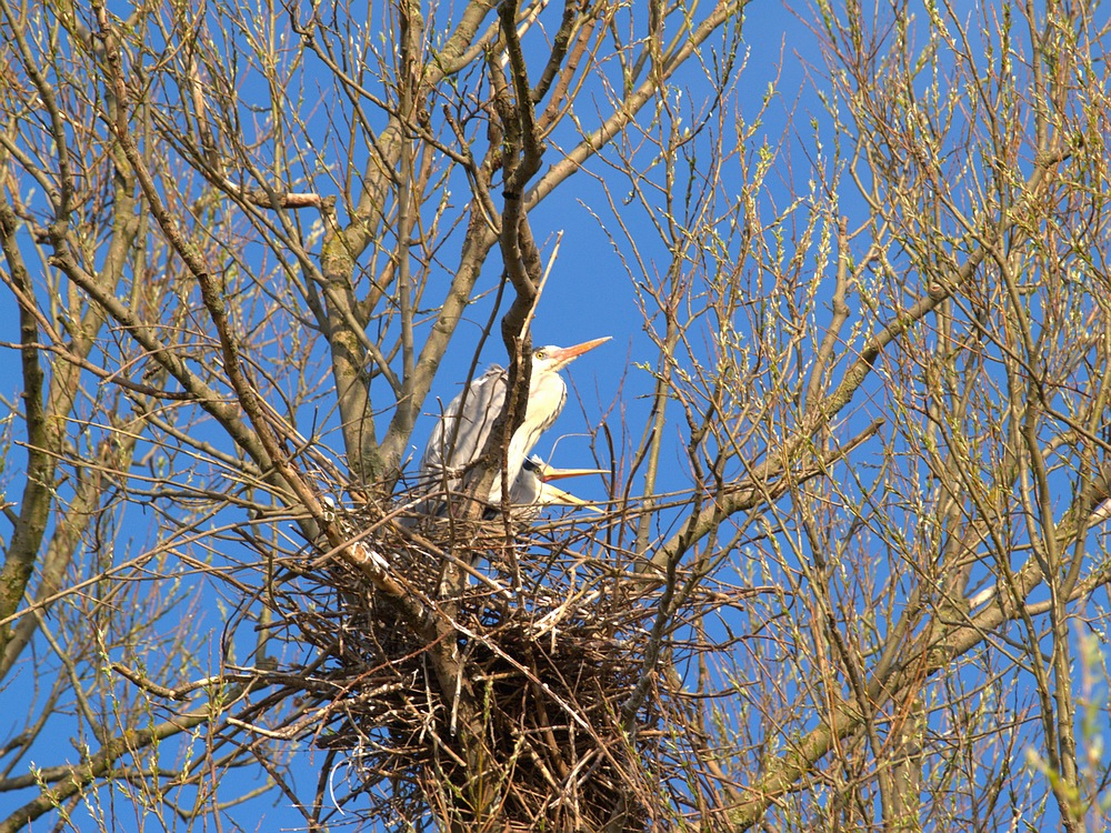 Blue Herons with nest