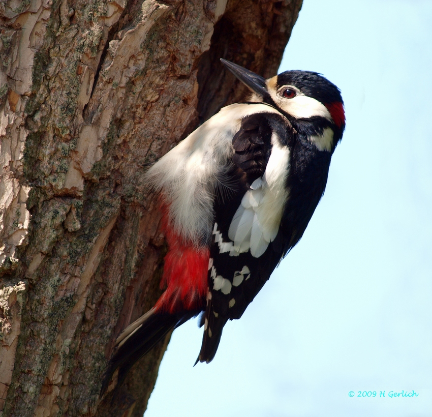 Great Spotted Woodpecker ♂