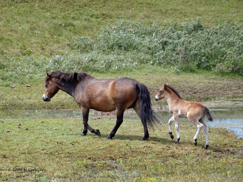 Mother & Young Equus cabalus