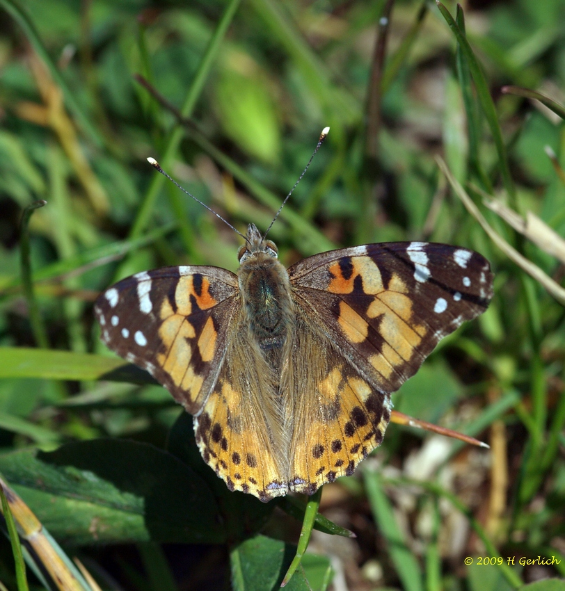 Painted Lady/Vanessa cardui