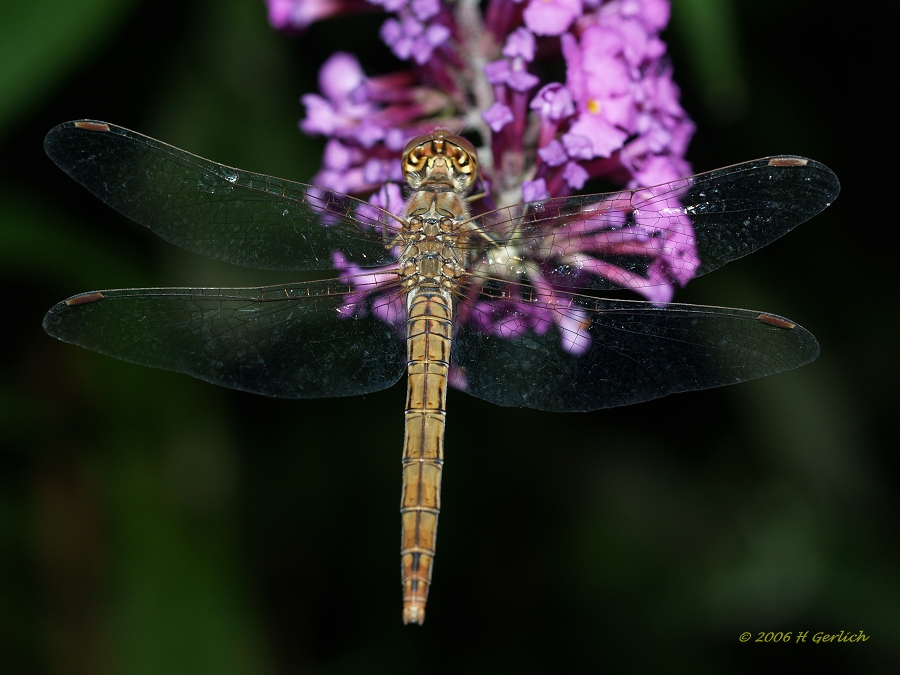 Nightly Dragon Fly I