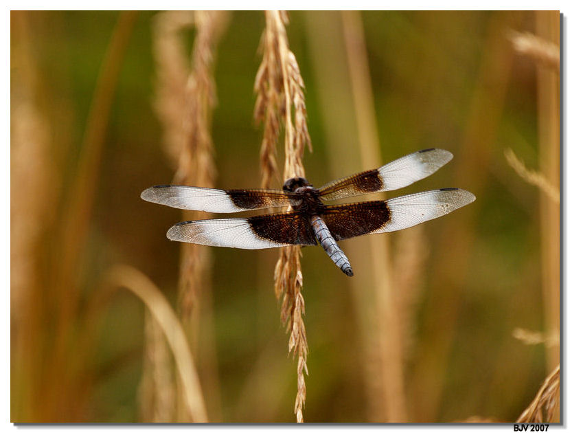 Dragonfly #2