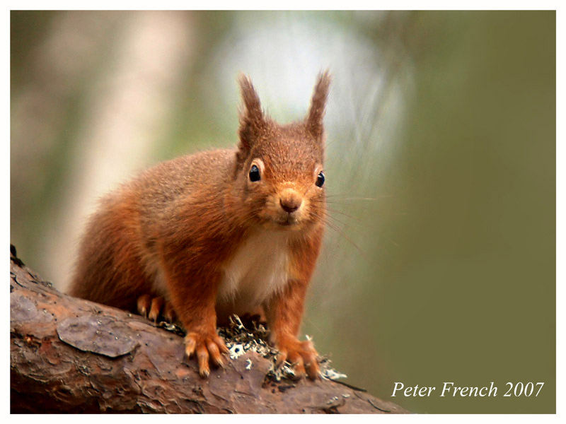 Red Squirrel (2)