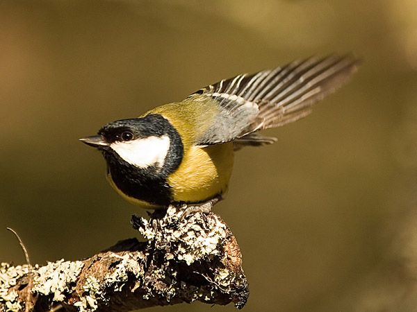 Great Tit (3)