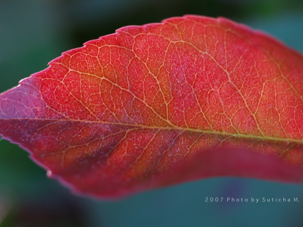 The Red Leaf (3)