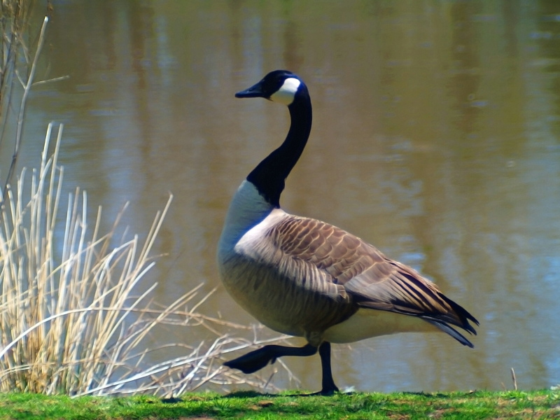 Canadian Goose3(Proud Walk)