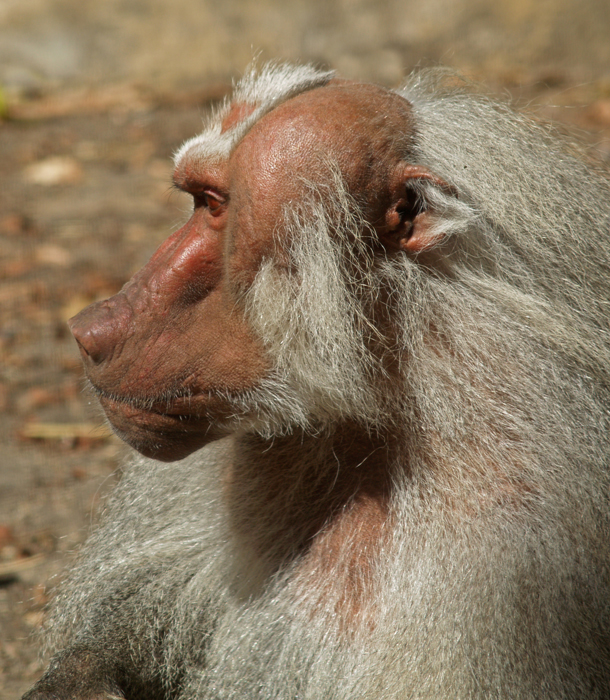 Old man baboon