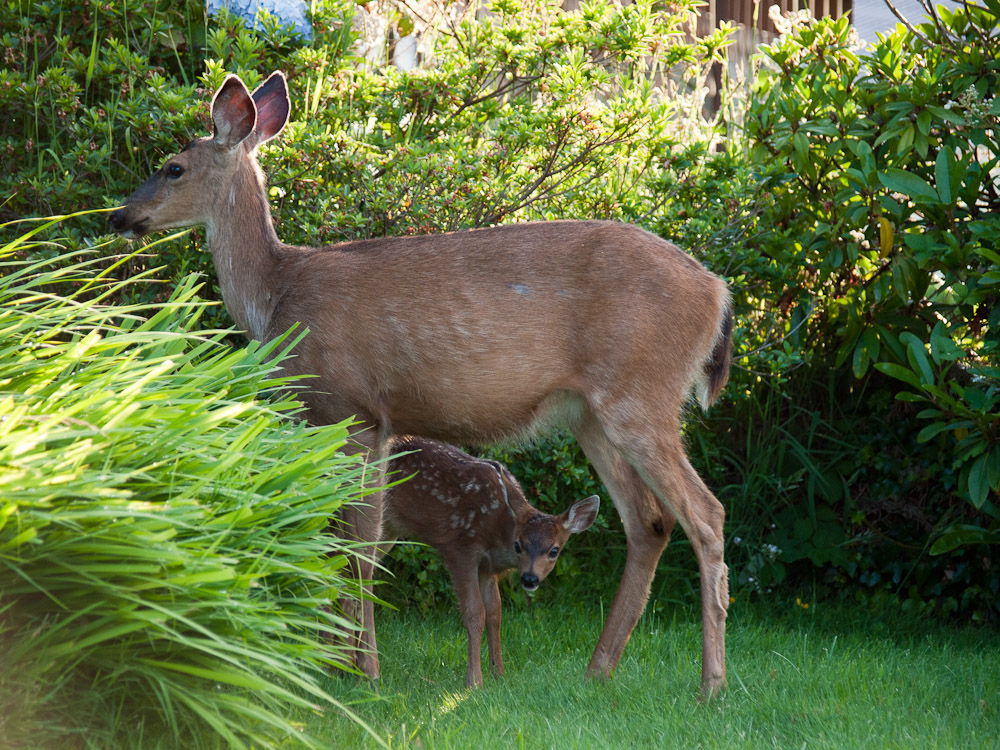Bambi and mommy in my back yard