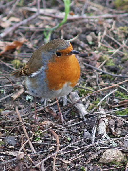 Robin in the Leaf Litter