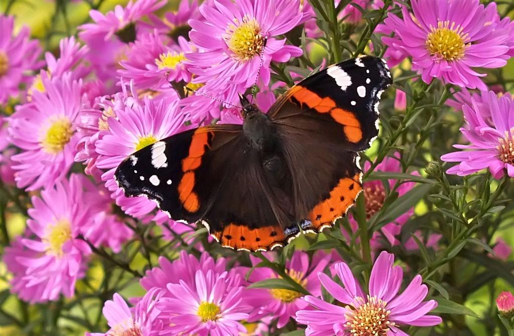 Red Admiral, beautiful