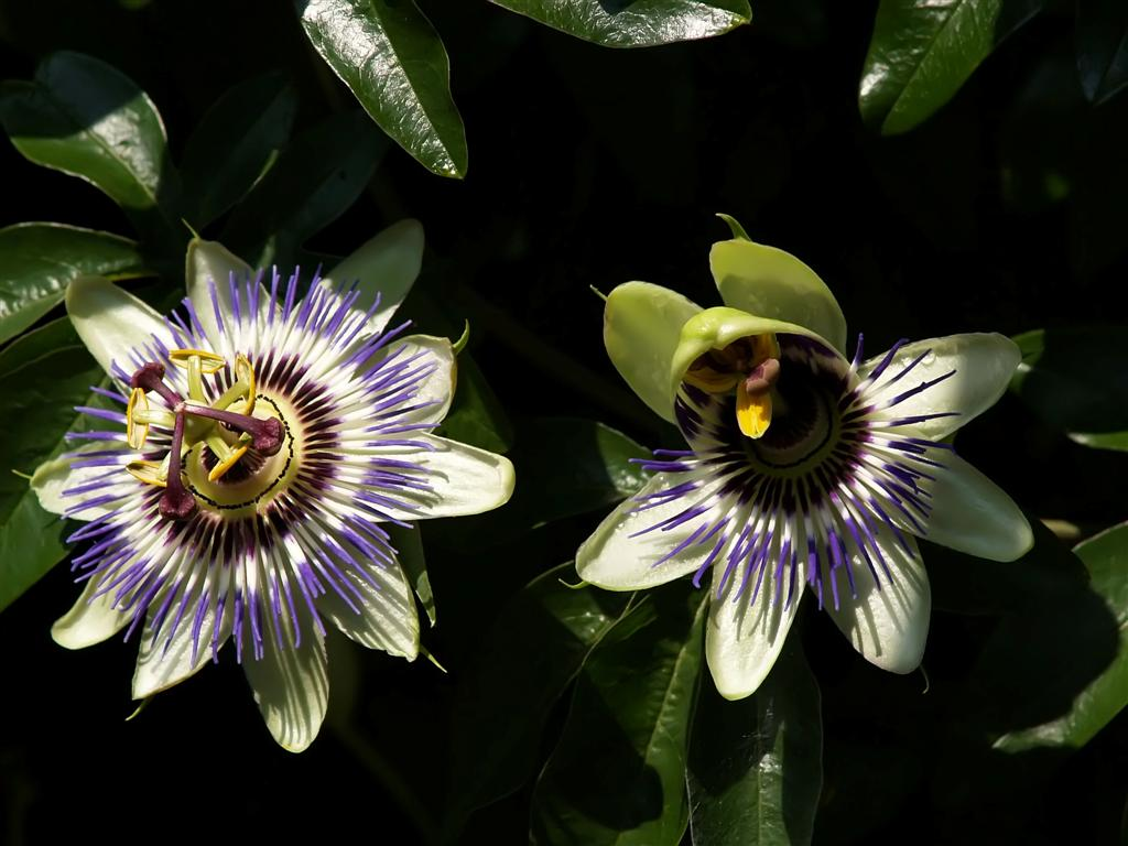 One and a half  passion flower