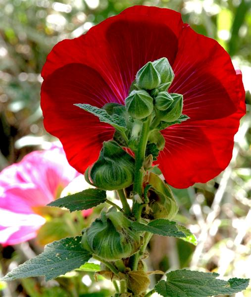 Back view - Hollyhock
