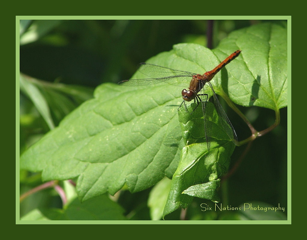 Red Dragonfly and Wild Grape Leaf