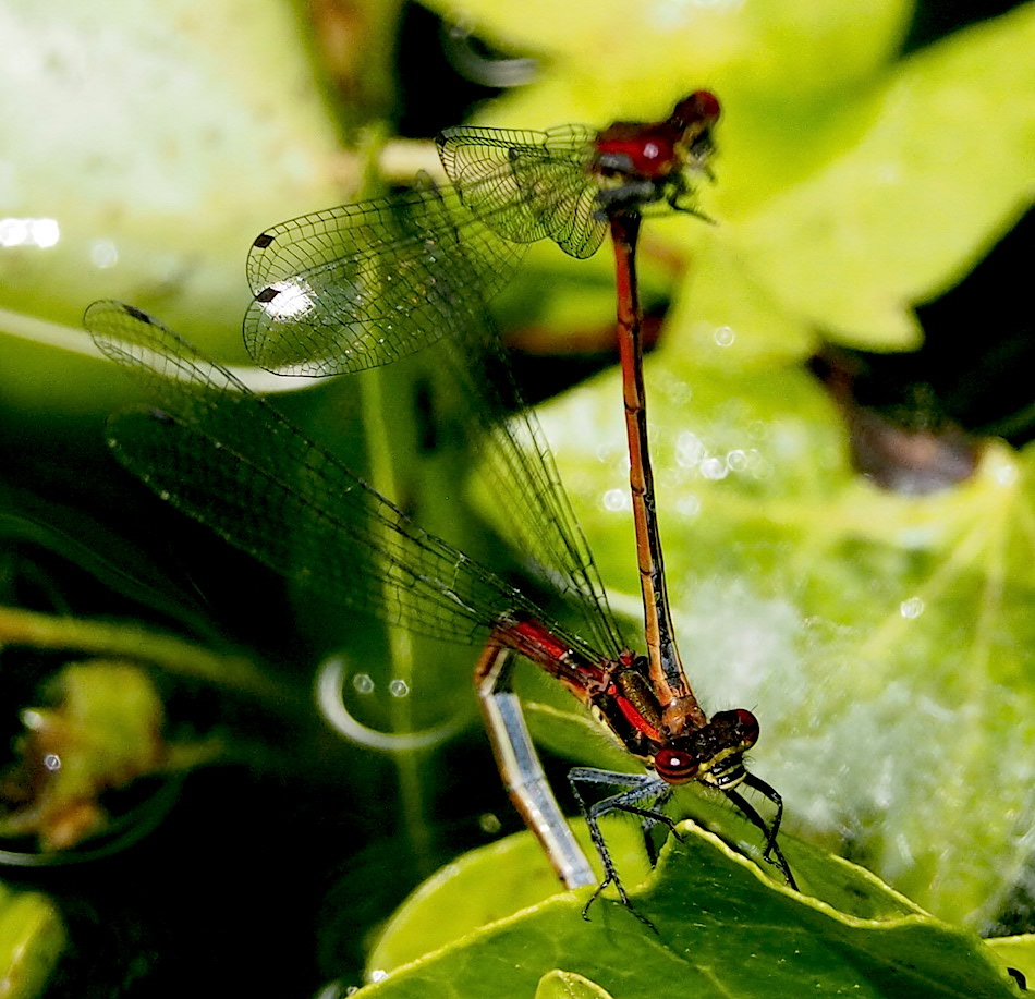 Large Red Damselflies In Tandem and Egg Laying