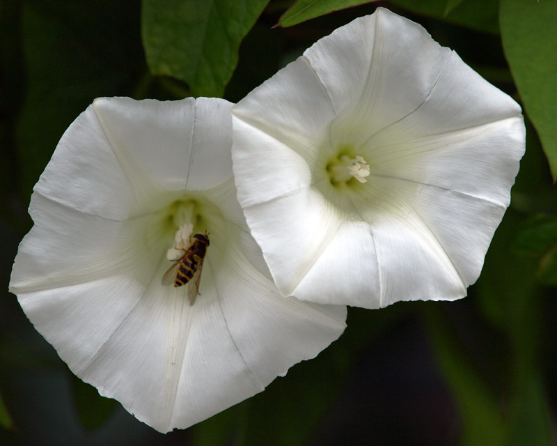 Convolvulus and Hoverfly