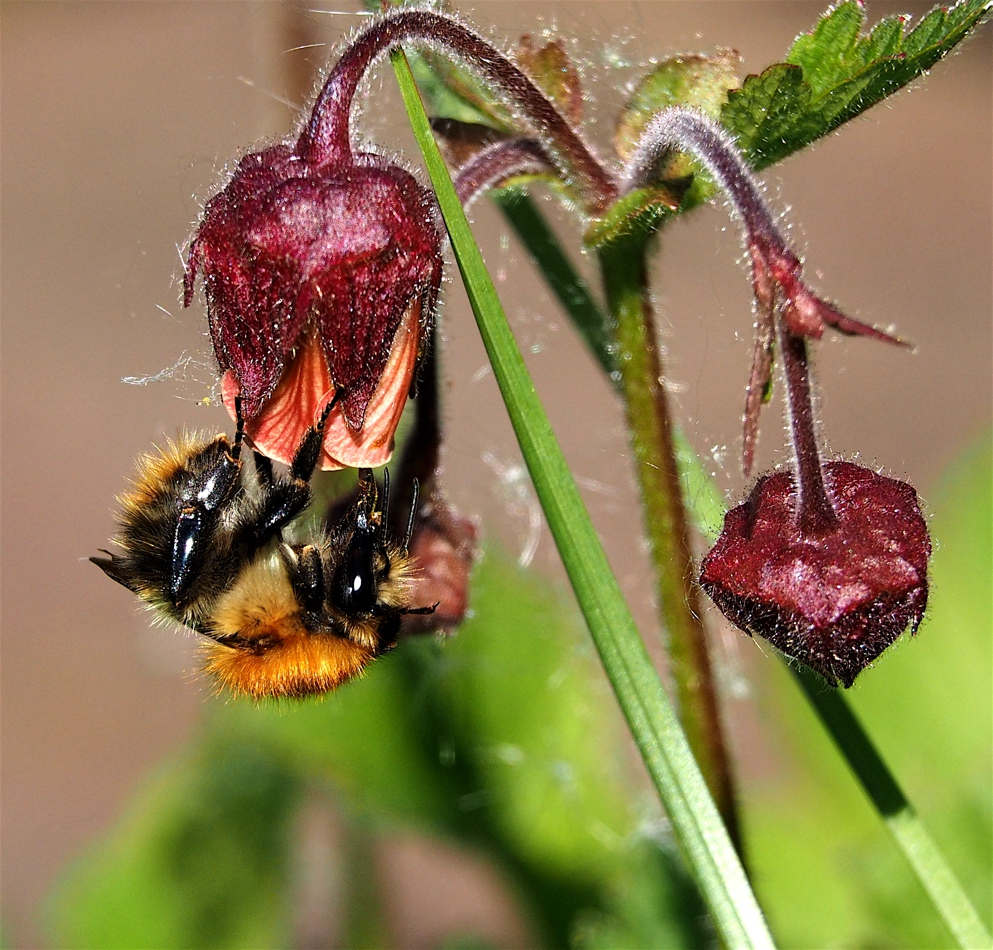 Bee feeding on Water Avens