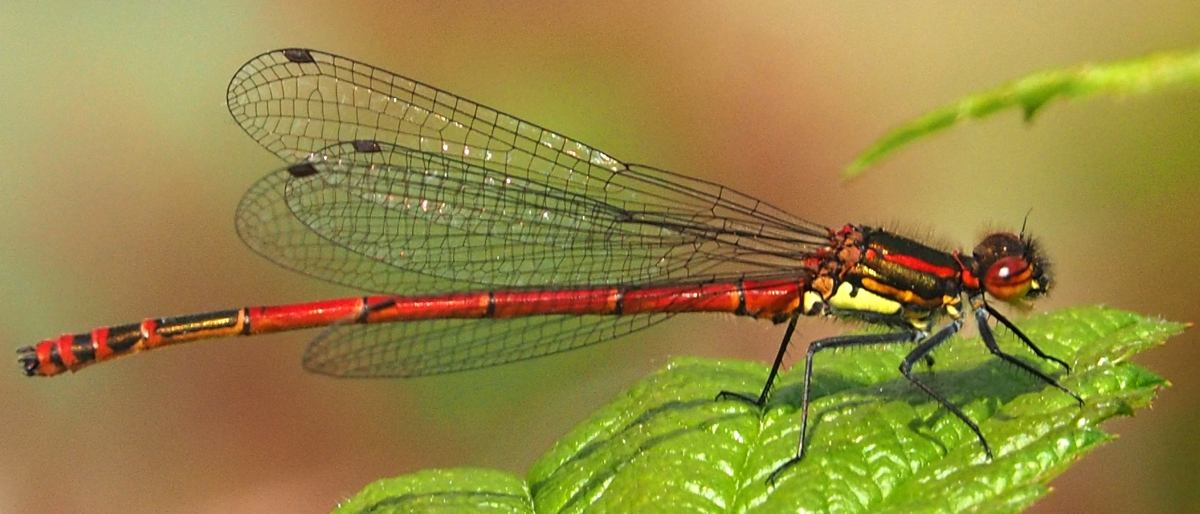Large Red Damselfly (Pyrrhosoma nymphal) male