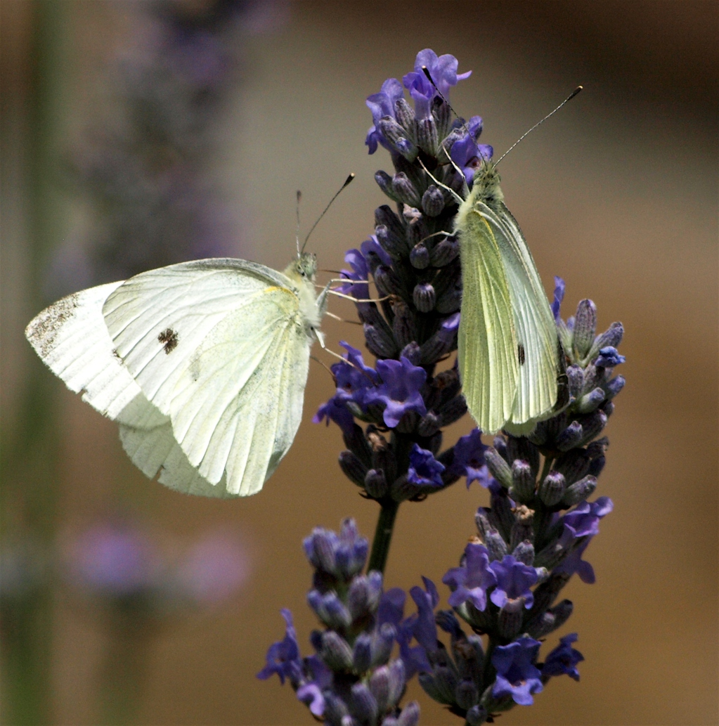 Small Whites on Lavender