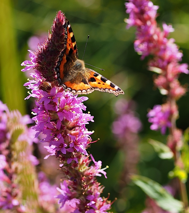 Small Tortoiseshell on Purple Loosestrife