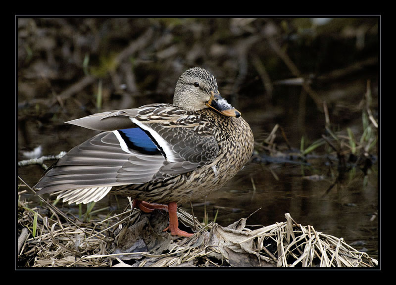 Mallard in the woods