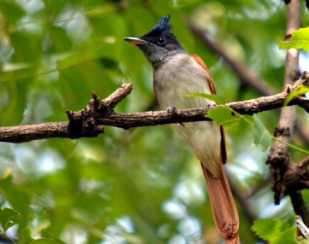 Paradise Flycatcher - Female