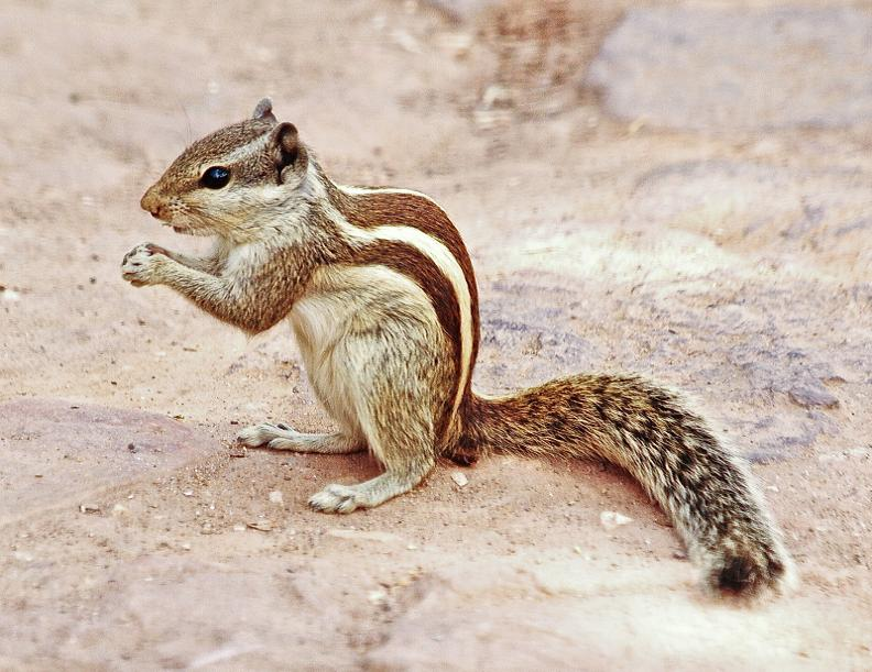 Indian Palm Squirrel (2)
