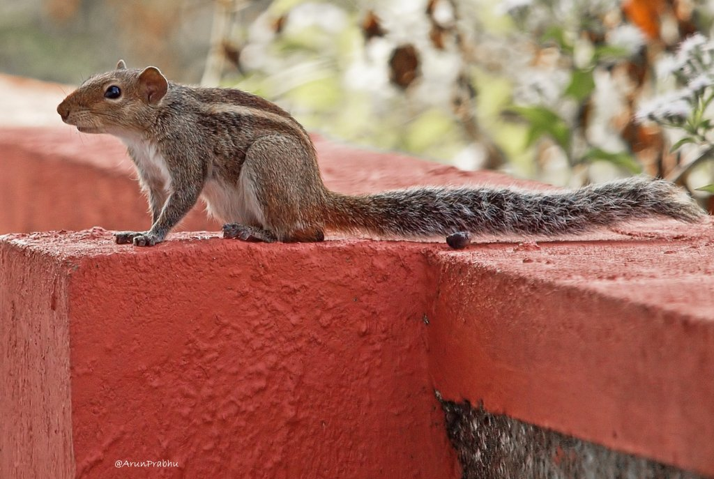 Indian Palm Squirrel (3)