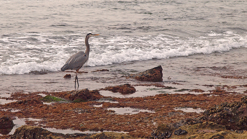 Great Blue Heron at Laguna Beach