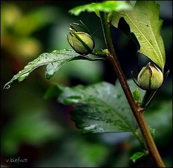 Buds after the rain...
