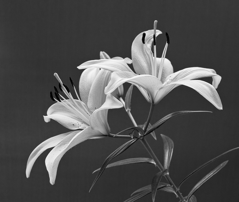 Easter Lillies - mono
