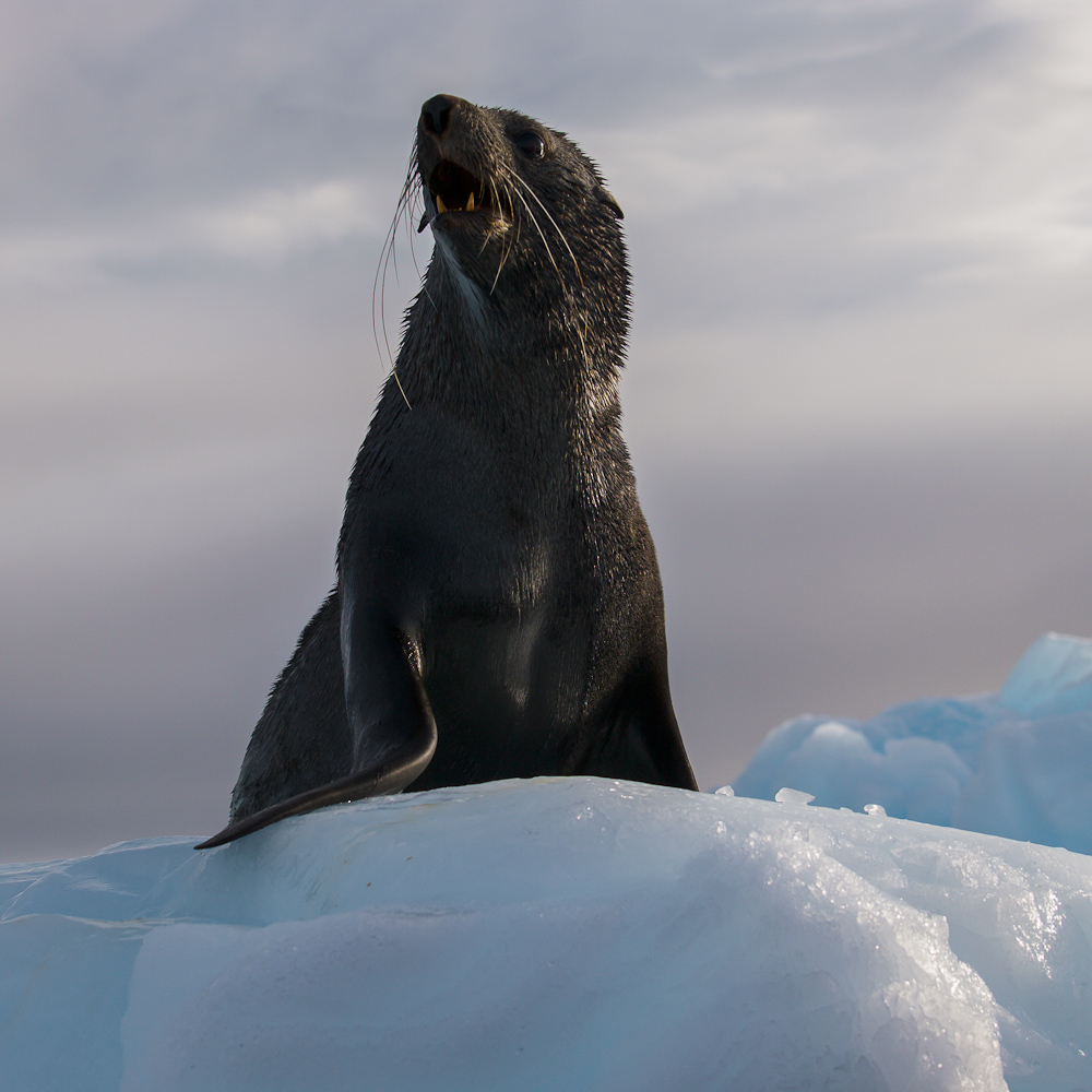 Fur Seal on the ice
