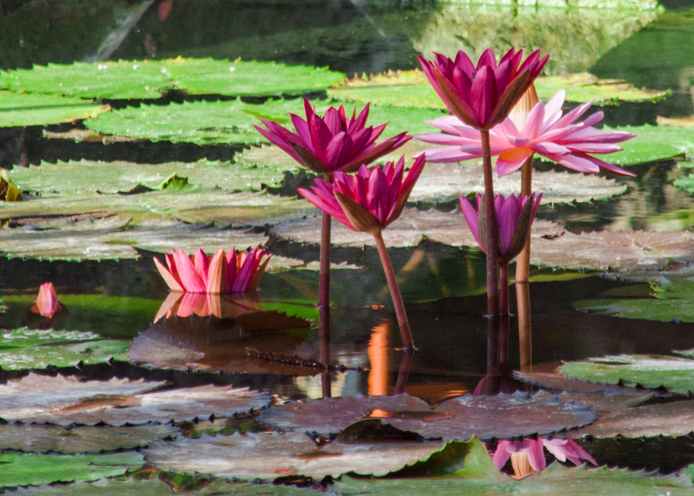 Morning Water Lily