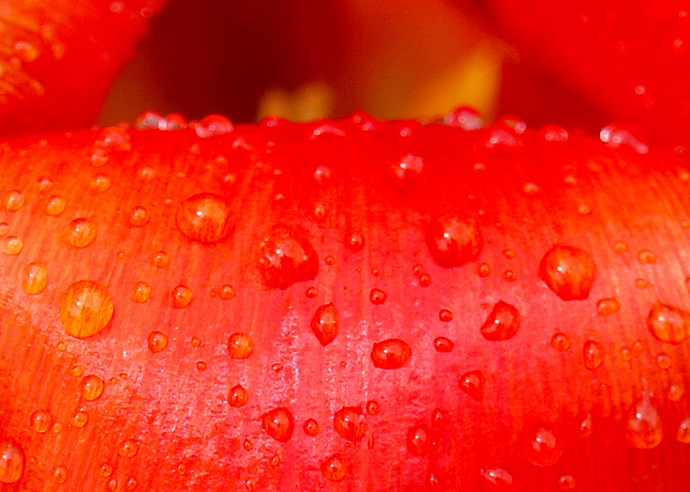 Tulip Water Drops 1