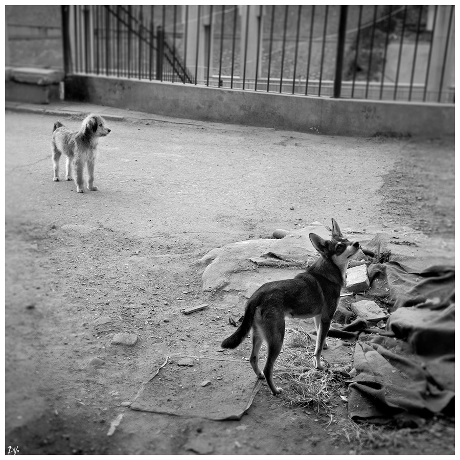 Domestic stray dogs