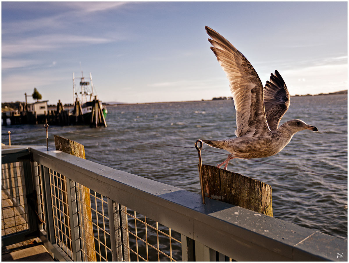 Flight of the seagull